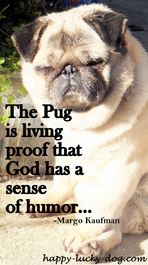 Pug with funny face.