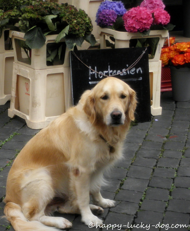 Golden Retriever at the local market.