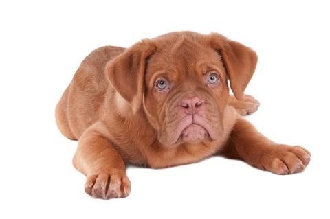 Adorable big puppy with sad blue eyes.