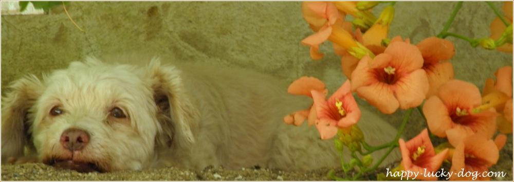 Adorable white senior dog resting.