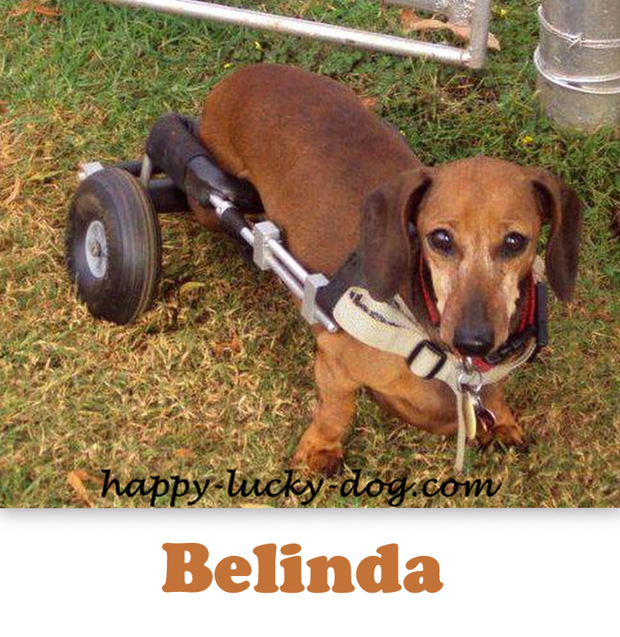 Special needs dashchund with her cart