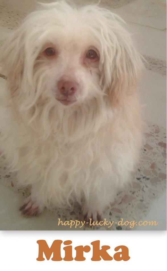 Portrait of senior white dog