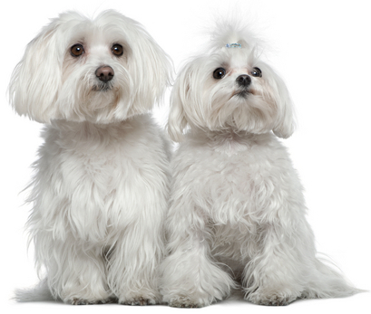 Two adorable small white dogs