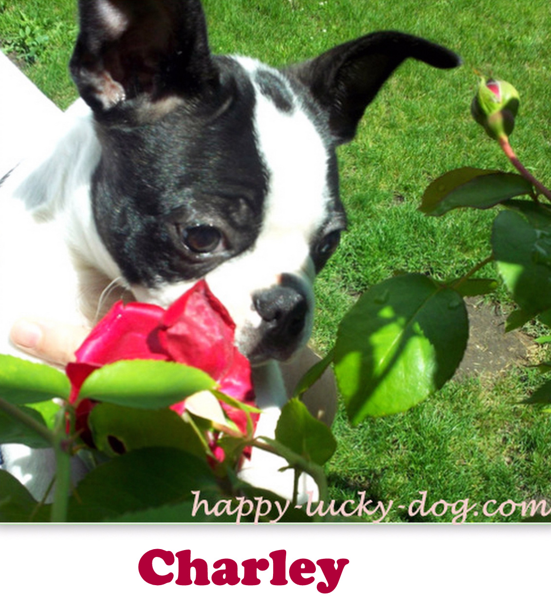Black & white Boston Terrier smelling roses.
