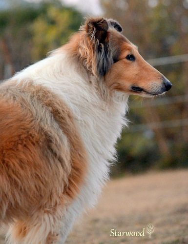 Adorable Collie