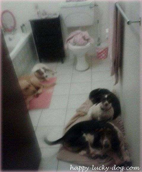 Dogs  afraid of the lightning and thunder  find shelter in the bathroom...
