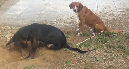 Two stray dogs digging holes for fun