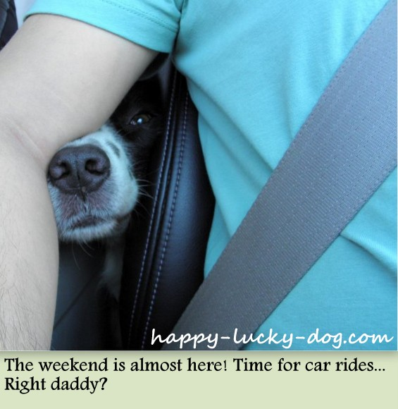 My lovely dog is getting ready for her favorite part of the weekend. Car rides!!!