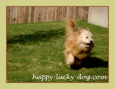 <em>Our girl running happy at the yard. She was three years old in this picture</em>