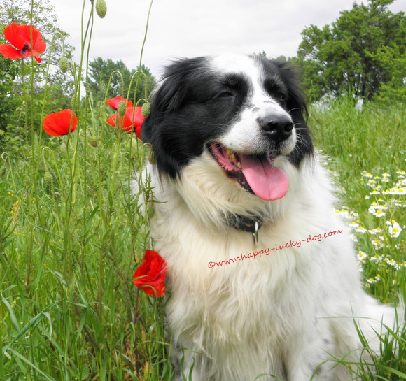 My dog posing next to spring poppies