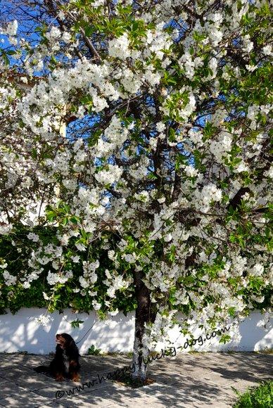 Dog posing for a photo under cherry tree></a></center></p>      <p class=