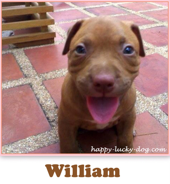 Red nose pitbul  named William