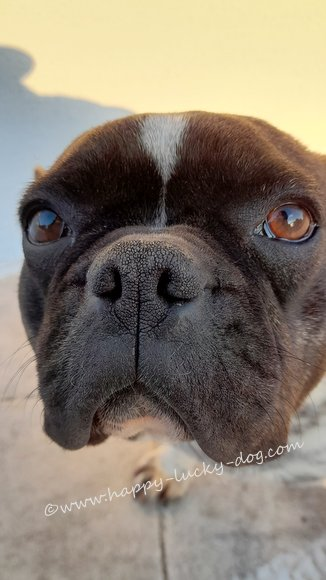 Close up of a black and white french bulldog