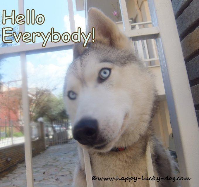 Friendly Husky saying hello