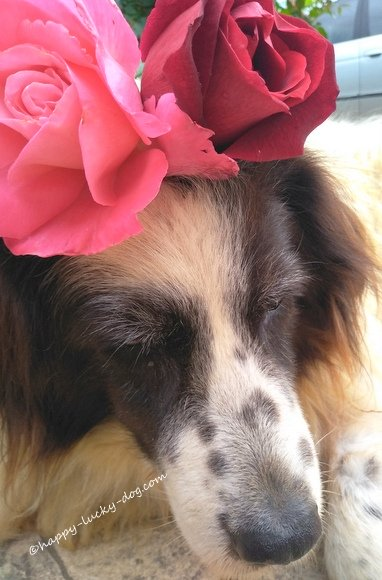 My senior dog with roses on her head
