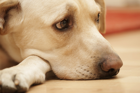 Big dog with sad expression