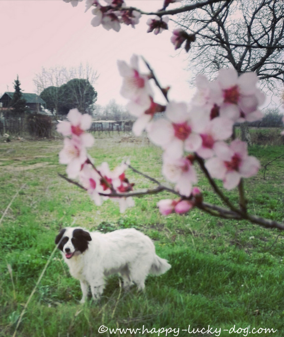 My dog standing behind a beautiful blossoming almond tree